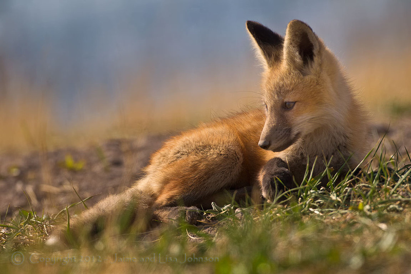 Another Fox Pup