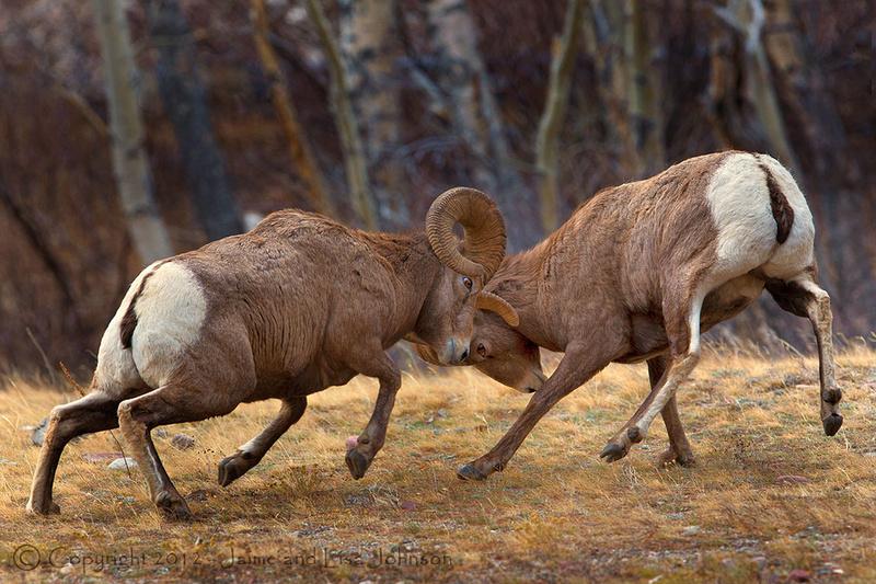 Bighorns in rut